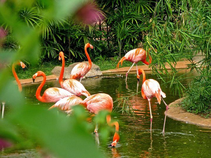 Flamingos - Gena
