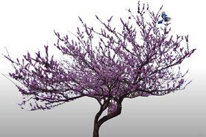 Bluejay in Purple Tree