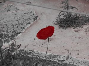 A poppy of peace