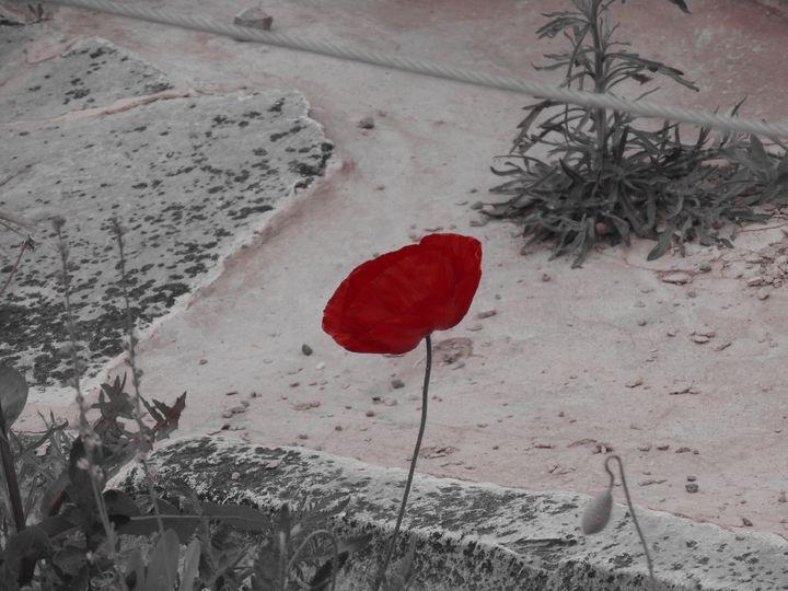 A poppy of peace - Alyssa