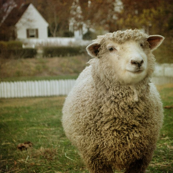 Betsy the Smiling Sheep - Bella Blue