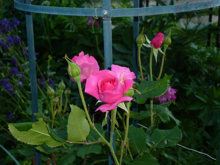 Роза - Peter Pinchuk