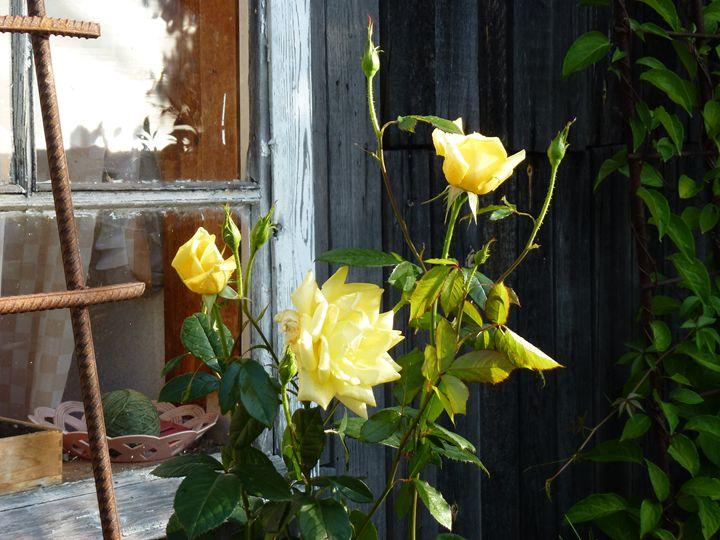 Желтая роза - Peter Pinchuk