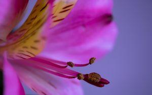 Dreamy, Pink Alstroemeria