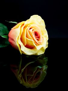 Yellow Rose with reflection