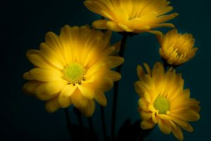 Yellow Daisies- Center of Attention