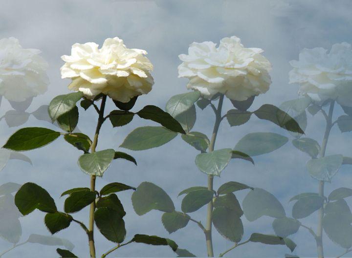 White Rose Garden - RosalieScanlonPhotography&Art