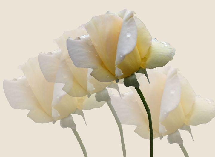 Pale Yellow Roses - RosalieScanlonPhotography&Art