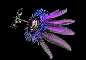 Passion Flower Painted Purple - RosalieScanlonPhotography&Art
