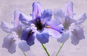 Purple Iris Trio - RosalieScanlonPhotography&Art