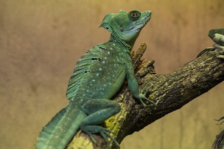 Lizard - Indiaskapie