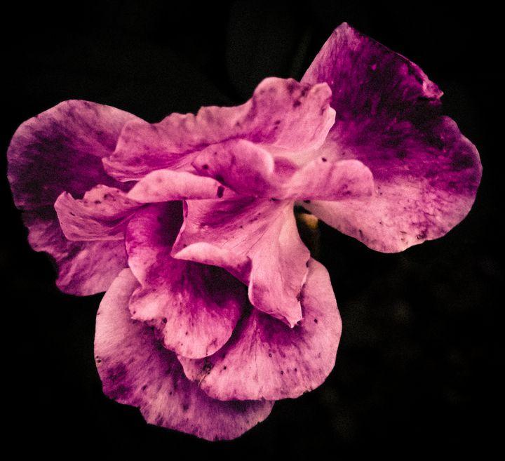 Dark rose - Sharp gallery