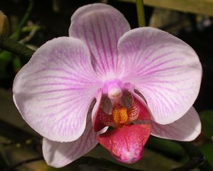 Pink and White Orchid