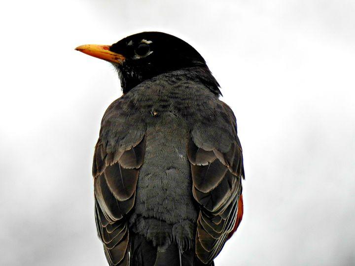 robin - JacPhotography