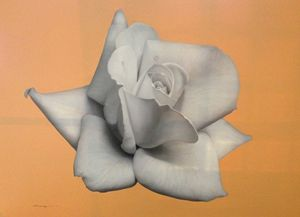 Rose in Orange Background