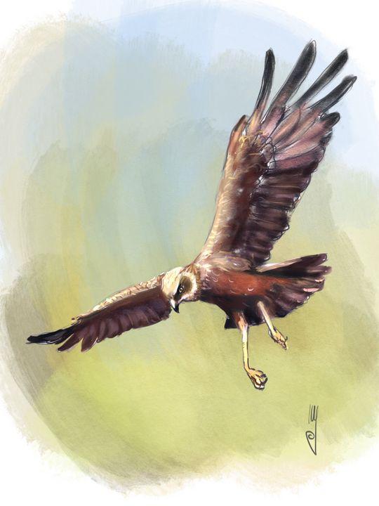 Marsh Harrier - Artmagenta