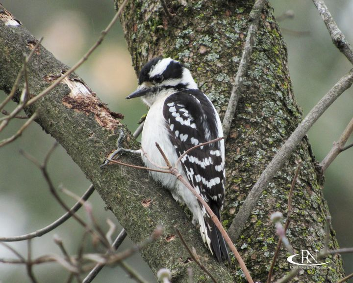 "Downy Woodpecker - Ronnie ""Flash"" Norris Photography"