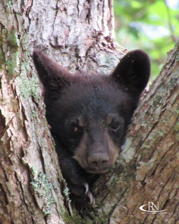 "Peek-A-Boo Baby Bear - Ronnie ""Flash"" Norris Photography"