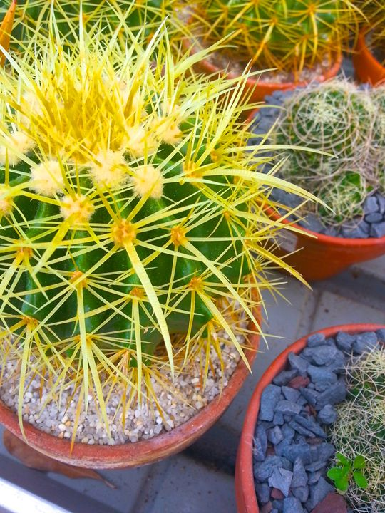 Yellow Spiked Cactus - Ben Kass