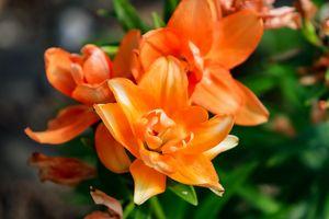 Orange Blossom's
