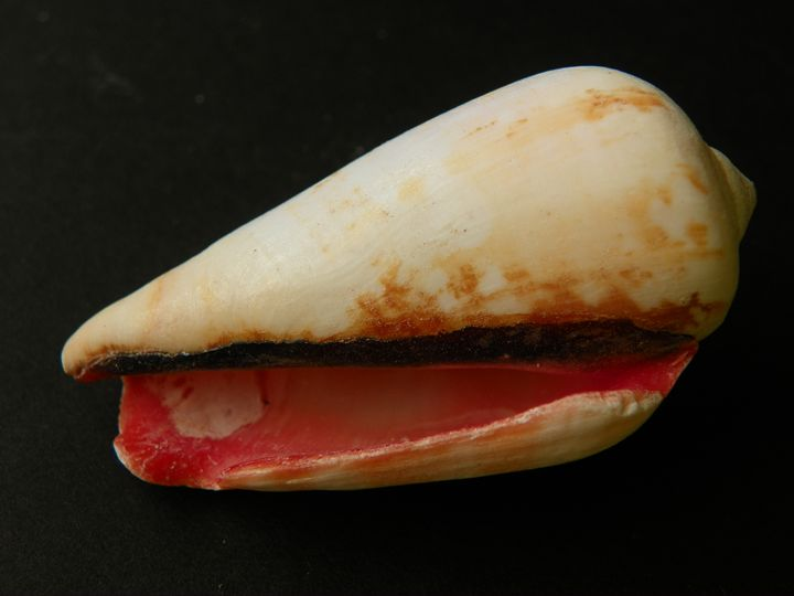 Red Reveal Shell - Helen Standing