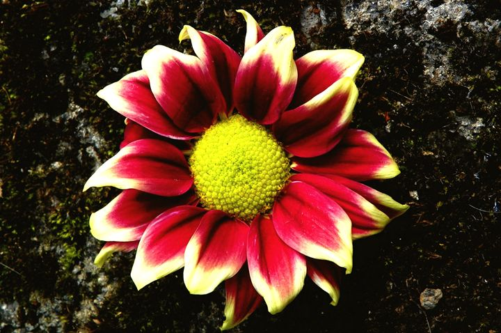 Pink Dahlia - Helen Standing