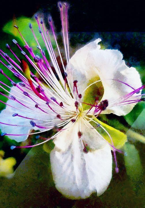 Orchid - Struss PRINTS