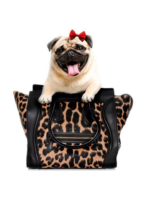 CUTE PUG DOG IN A BAG - MONTORO