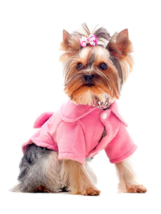 CUTE YORKSHIRE DOG IN PINK OUTFIT - MONTORO