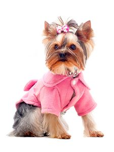 CUTE YORKSHIRE DOG IN PINK OUTFIT