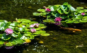 Lotus & Koi