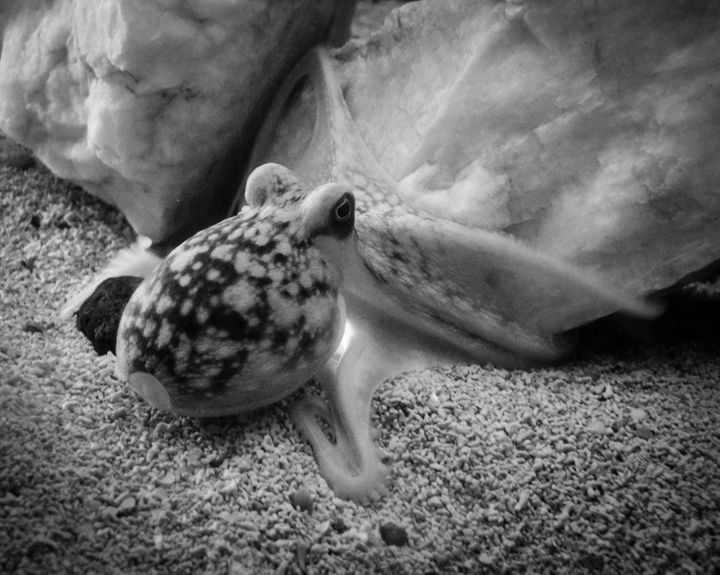 Playful Baby Octopus - KJordan Photography