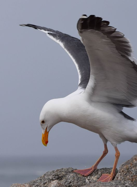 Portrait of a Seagull - KJordan Photography