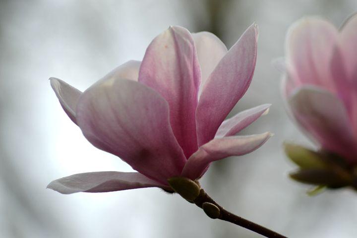 Magnolia - CTTrefts artwork