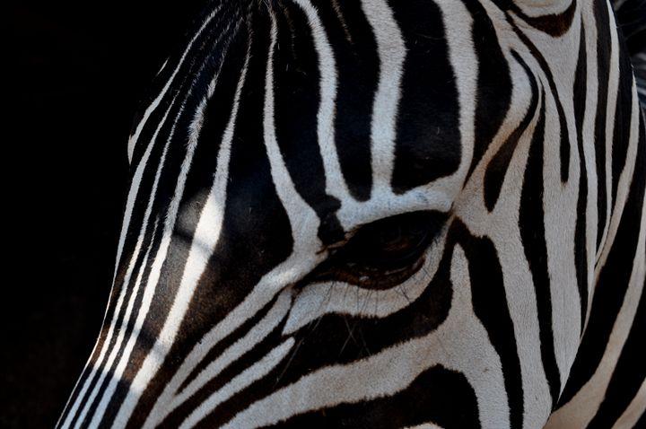 Zebra - Amanda Vogtman