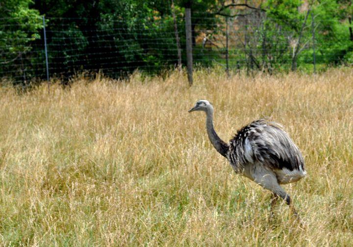 Emu - Amanda Vogtman
