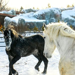 Percheron 2