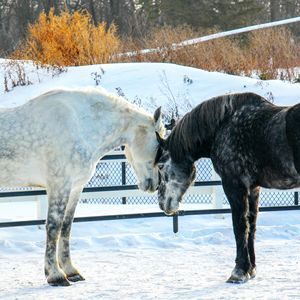 Percheron 1
