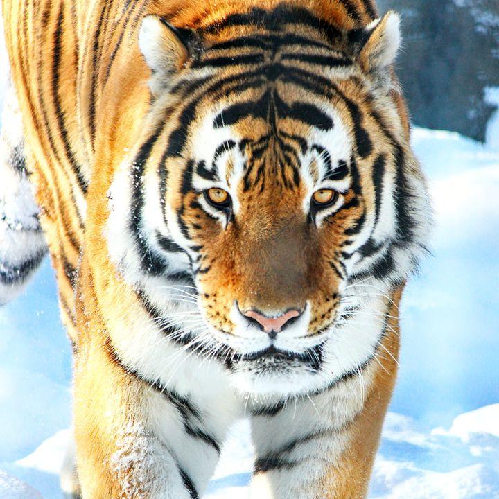 Amur Tiger 1 - Tara Wuennenberg