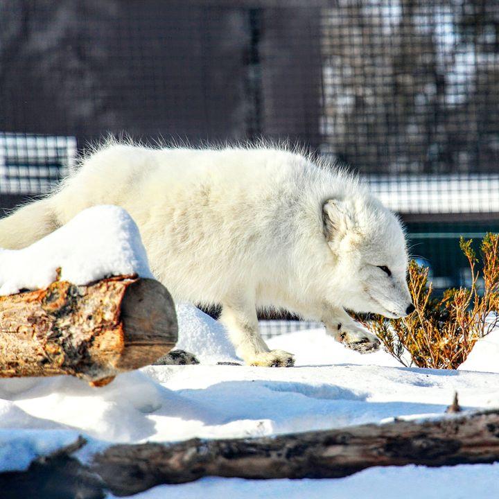 Arctic Fox 1 - Tara Wuennenberg