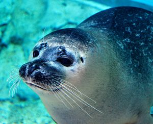 Harbour Seal 3 - Tara Wuennenberg