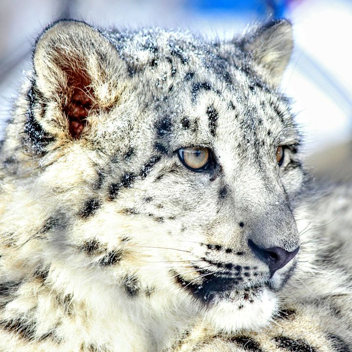 Snow Leopard 3 - Tara Wuennenberg