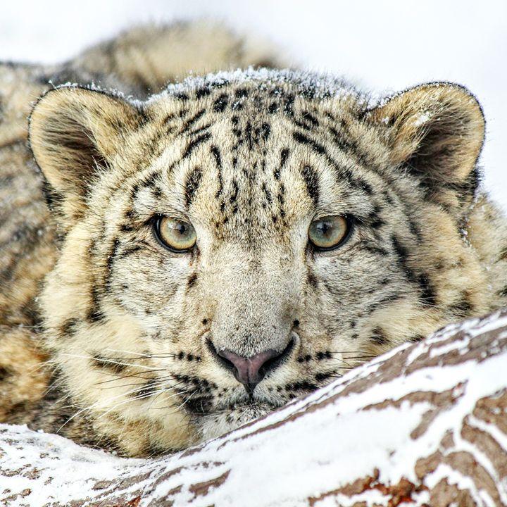 Snow Leopard 1 - Tara Wuennenberg