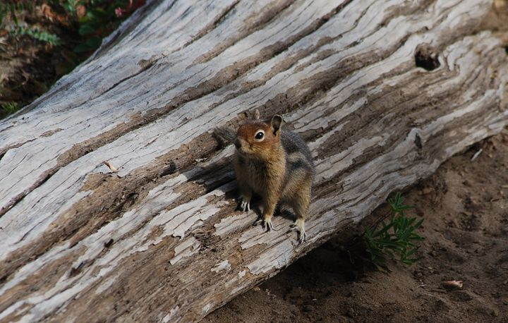 Golden Mantled Ground Squirrel - Wend Images Gallery