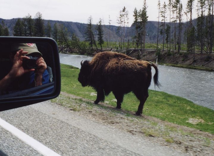 Sharing the Roadway in Yellowstone - Wend Images Gallery