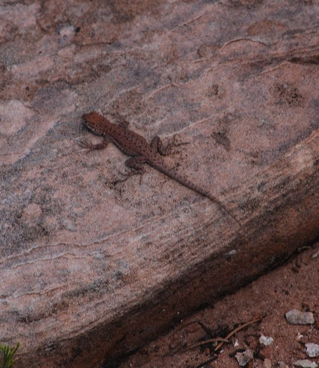 Plateau side-blotched lizard - Wend Images Gallery