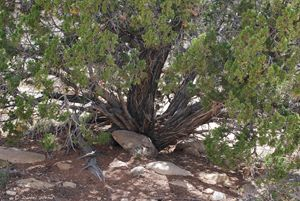 One Seeded Juniper Tree - Wend Images Gallery