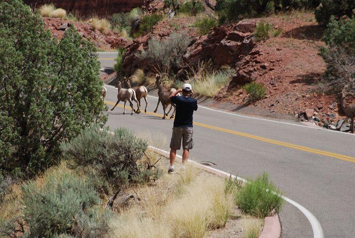 Bighorn Sheep Crossing - Wend Images Gallery