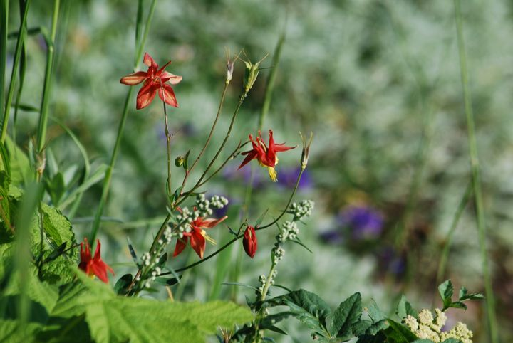 Columbine in the Meadow - Wend Images Gallery