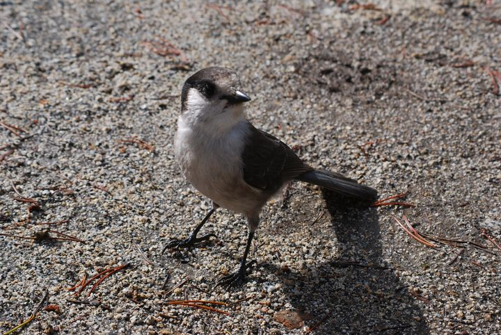 Gray Jay Hoping for a Handout - Wend Images Gallery